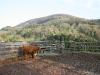 13-schottisches-hochlandrind